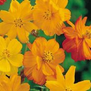 Cosmos Bright Lights Mix - 450 seeds